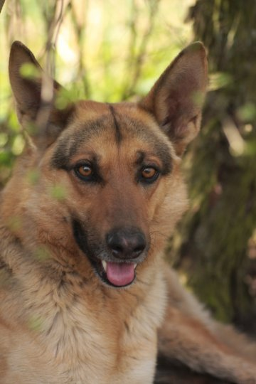 Type berger allemand - Refuge AVA (76) - Adoptions