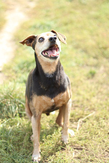 Type Pinscher - Refuge AVA (76) - Adoptions