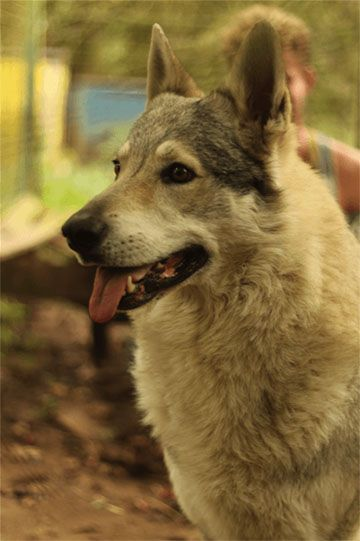 Chien loup tchechoslovaque LOF - Refuge AVA (76) - Adoptions