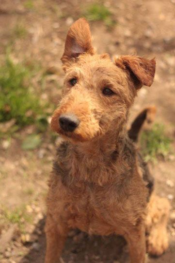 Airedale Terrier - Refuge AVA (76) - Adoptions