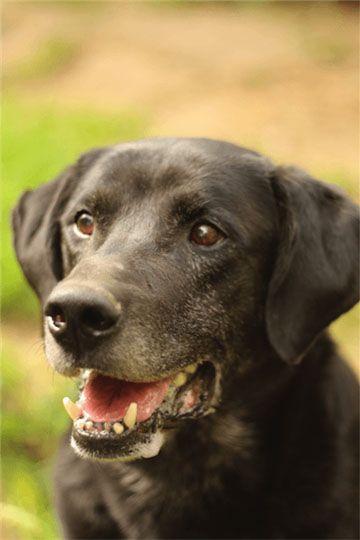 Labrador - Refuge AVA (76) - Adoptions