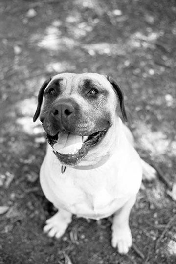Dogo canario LOF - Refuge AVA (76) - Adoptions