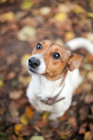 Type jack russel terrier - Refuge AVA - Adoptions