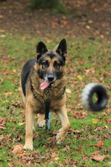 Type berger allemand - Refuge AVA - parrainage chiens