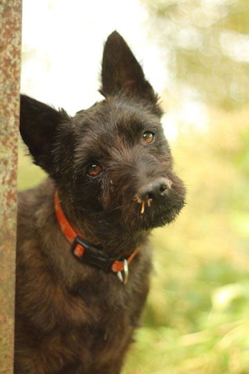 Type cairn terrier - Refuge AVA (76) - Adoptions