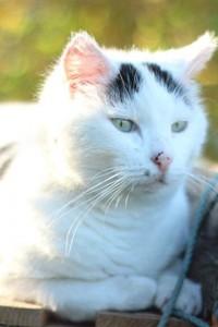 Portrait de Snow, chat blanc - AVA (Agir pour la Vie Animale)