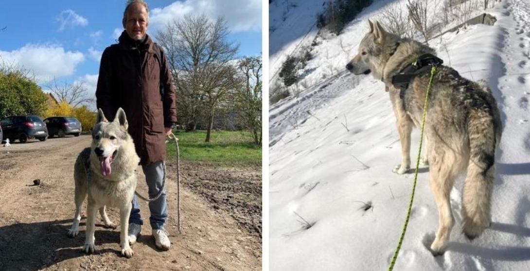 GALAK de la Seven Loup dit EMILE - chien loup tcheque 8 ans (5 ans de refuge)  AVA à Saint Fiacre (76 Capture-d%E2%80%99e%CC%81cran-2021-04-15-a%CC%80-13.37.29